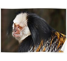 White-headed marmoset Poster