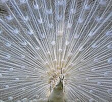White Peacock Display by philipclarke