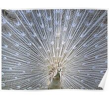 White Peacock Display Poster
