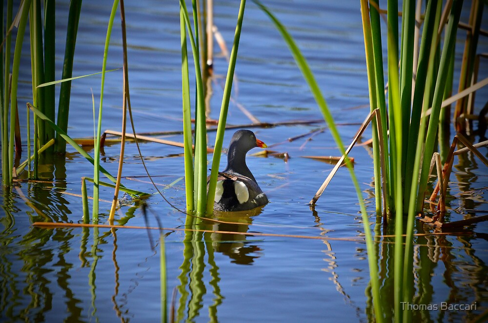 A Beautiful Duck Amongst the Swamp Weed by TJ Baccari Photography