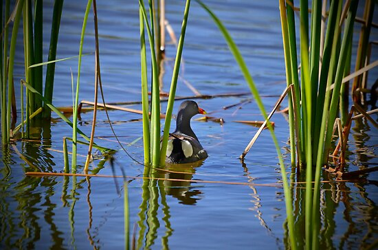A Beautiful Duck Amongst the Swamp Weed by imagetj