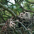 Great Horned Owl Chicks by George  Link