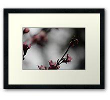 Springtime Peach Blossoms II Framed Print