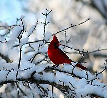 Cardinal on the Snowy Branch by karineverhart