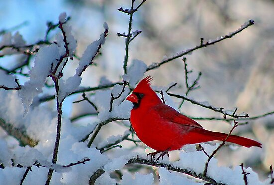 Cardinal After the Snowstorm by karineverhart