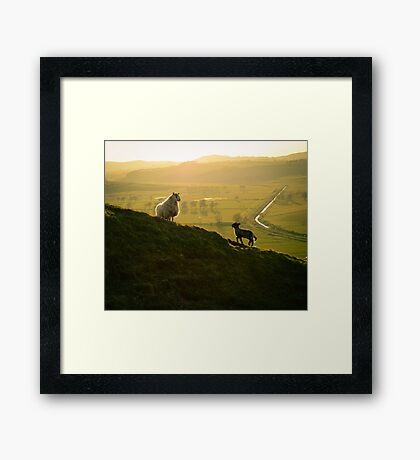 Scottish Sheep and Lamb Framed Print