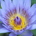 Purple Water Lily by ashercobb