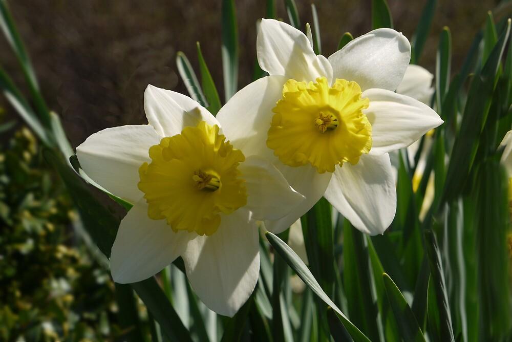 Daffodil Pair by Kenneth Hoffman