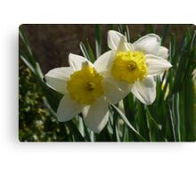Daffodil Pair Canvas Print
