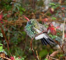 Broad-Billed Hummingbird in Rain by InnerSees