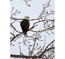 American Bald Eagle 4 Photographic Print