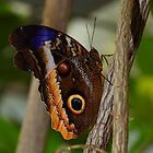 Giant Owl Butterfly by InnerSees