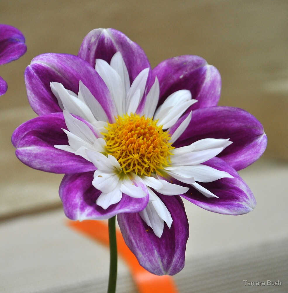 PURPLE AND WHITE - DAHLIA by Tamara Bush