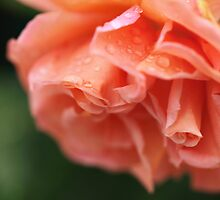 Peach Rose by Megan Schatzman