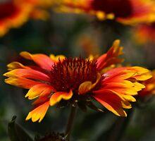 Indian Blanket Flower by InnerSees