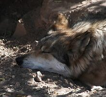 Napping Mexican Gray Wolf by InnerSees