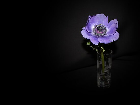 Purple Anemone by AnnDixon
