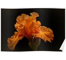 Apricot Iris #2 Poster