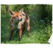 British Red Foxes Poster