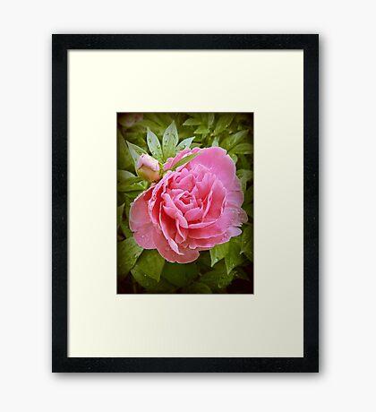 Dew Drops on Pink Framed Print