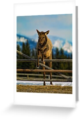 Elk Cow Jumping by lincolngraham