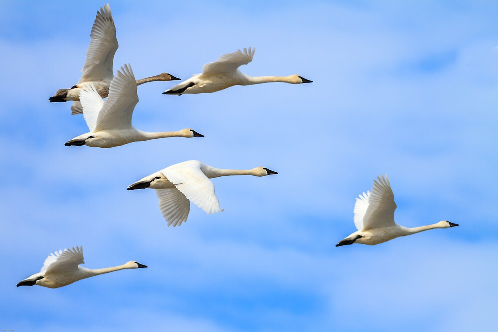 Tundra Swans: The Leaders by John Williams