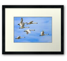 Tundra Swans: The Leaders Framed Print