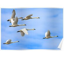 Tundra Swans: The Leaders Poster