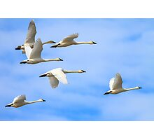 Tundra Swans: The Leaders Photographic Print
