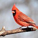 Cardinal posing.... by Gregg Williams