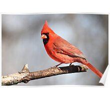 Cardinal posing.... Poster