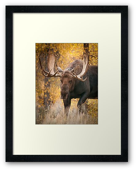Bull Moose in the Aspens by J. Day