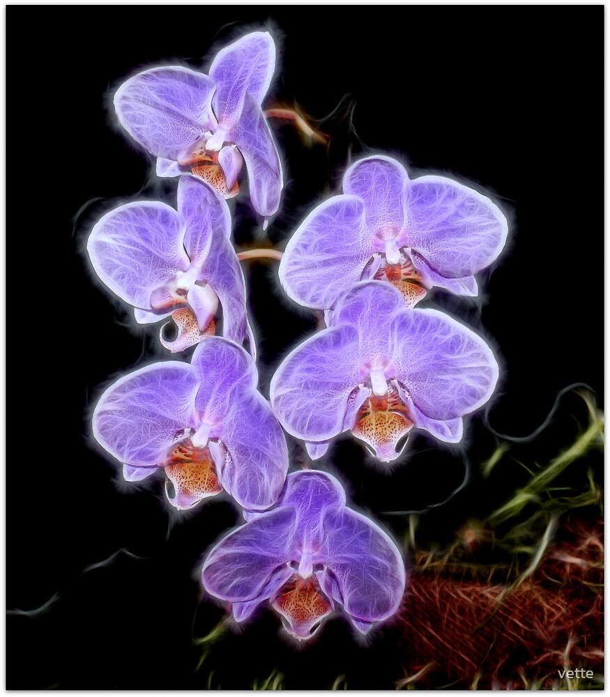 Phalaenopsis Orchid in Purple by vette
