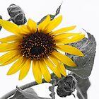 Sunflower by Stellina Giannitsi