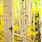 Kenosha Pass Aspen Tree Trunks by Reese Ferrier