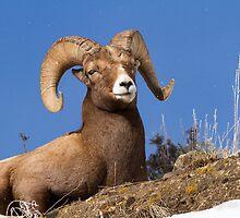 Big Horn Sheep by Rose Vanderstap