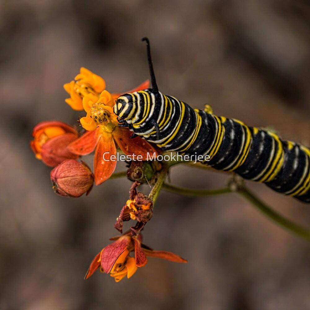 Monarch caterpillar by Celeste Mookherjee