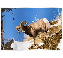 Big Horn Sheep Poster