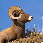 Big Horn Sheep Ram by Rose Vanderstap