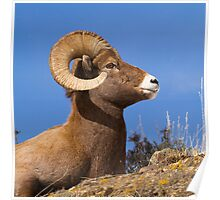 Big Horn Sheep Ram Poster
