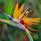 Crane Lily - Bird of Paradise by Sandy1949