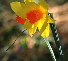 Spring Daffodils  by Diana Graves Photography
