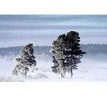 25.2.2013: Pine Trees, Winter Morning Photographic Print