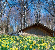 Field of daffodils near Bellikon by Michael Brewer