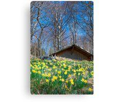 Field of daffodils near Bellikon Canvas Print