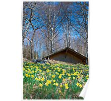 Field of daffodils near Bellikon Poster