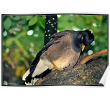 kashmiri bird Poster