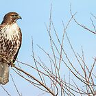 Red-tailed Hawk: The Lower Klamath Marsh by John Williams