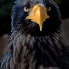Steller's Sea Eagle by John44