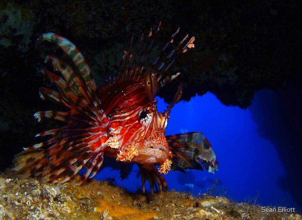 Lionfish in cave, Balls Pyramind, Lord Howe, NSW, Australia by Sean Elliott